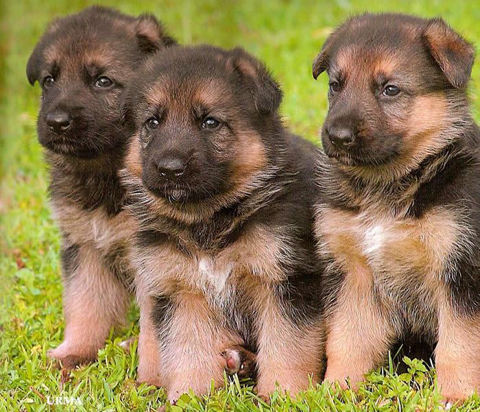 german_shepherd_puppies